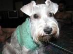 My Schnauzer Schweater!
