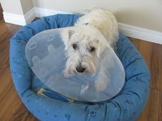 Winston and the Cone Collar
